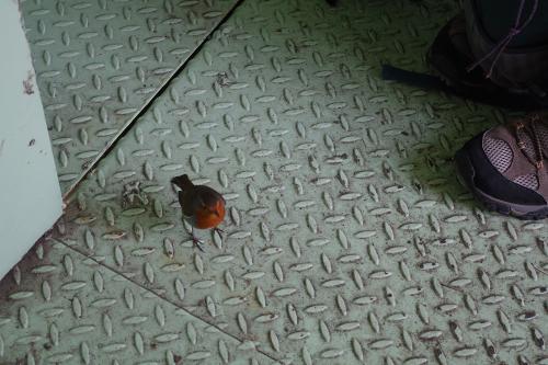 Robin bird on the floor next to members shoe